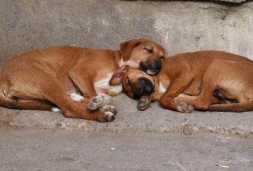 Society stray dogs