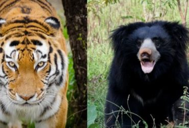 Tiger Poacher & sloth bear