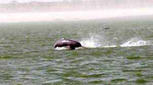 Ganges River Dolphins spotted in Meerut. Internet is in love with viral video