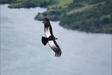 wonder bird flies 172 km without flapping