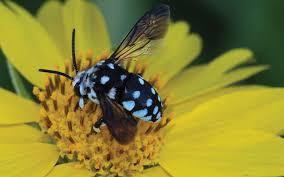 Native bees also facing novel pandemicNative bees also facing novel pandemic