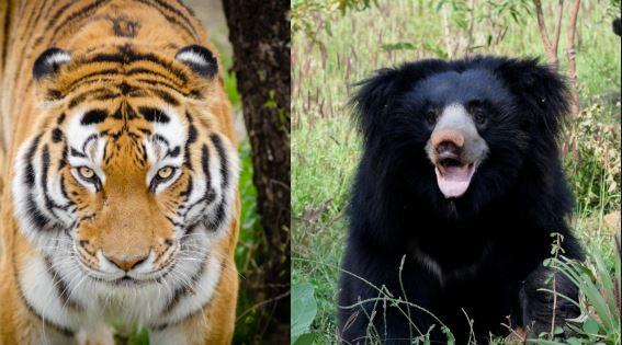 Tiger Poacher & sloth bear